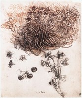 Star of Bethlehem and Other Plants, study (1505-1507)